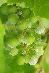"""Оидиум винограда – меры войны с """"бичом виноградников"""""""